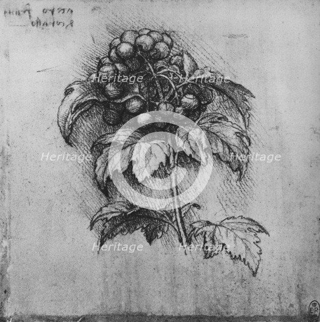 'A Spray of a Plant', c1480 (1945). Artist: Leonardo da Vinci.