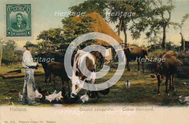 'Habana. Escena campestre - Cuban Barnyard', c1910. Artist: Unknown.