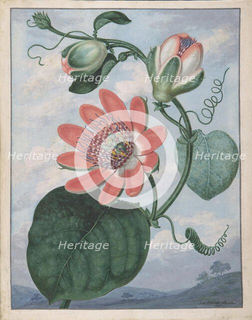 Passion Flower, 1799. Creator: Sydenham Teast Edwards.