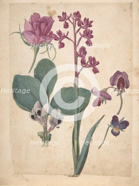 A Sheet of Studies of Flowers: A Rose, a Heartsease, a Sweet Pea, a Garden Pea..., 16th century. Creator: Jacques Le Moyne.