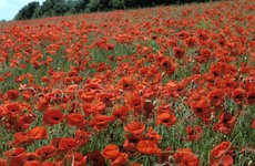 Thumbnail image of Poppy Fields, Great Bookham, Surrey, England, c2000.