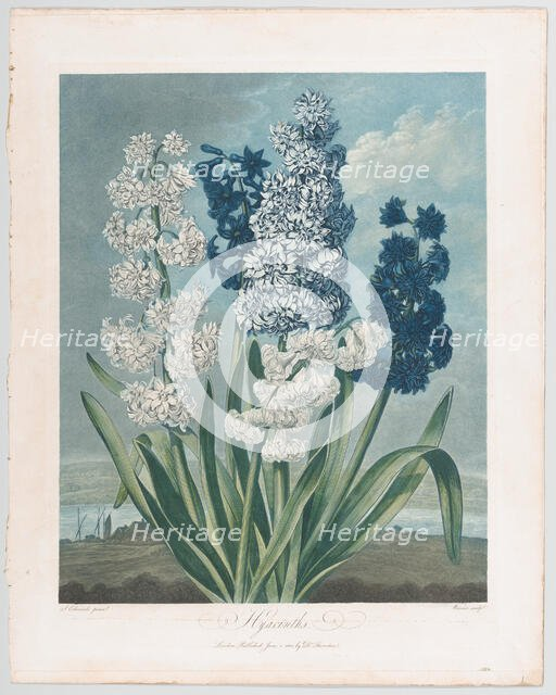 "Hyacinths, from ""The Temple of Flora, or Garden of Nature"", June 1, 1801., June 1, 1801. Creator: Thomas Warner."