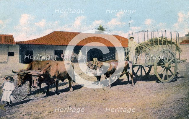 A Cuban ox team, early 20th century.Artist: Harris Bros & Co.