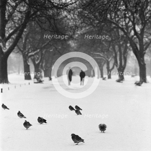 Pigeons on a snowy path, Regent's Park, London, 1960-1965. Artist: John Gay
