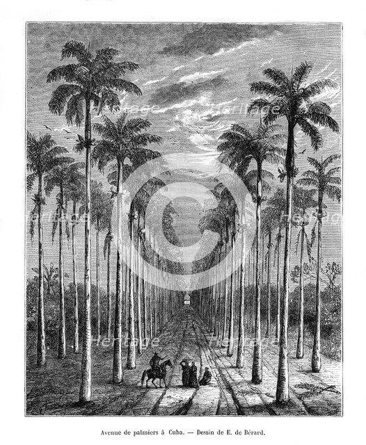 Avenue of palm trees, Cuba, 19th century. Artist: E de Berard